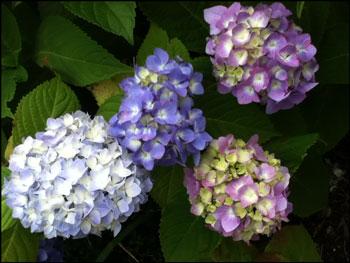 そろそろ紫陽花もきれいに咲いてきてます・・・