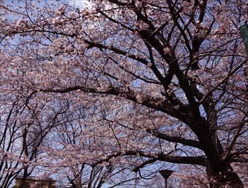 sakura-02.jpg