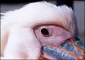 pelican03-01.jpg