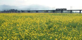 06.04.06-nanohana-01.jpg