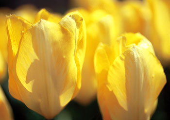06.04.24-tulip01.jpg
