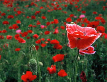 06.05.27-poppy.jpg